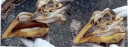 Bone-in-capsule